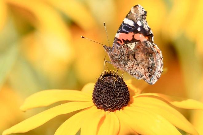 Att fota Fjärilar
